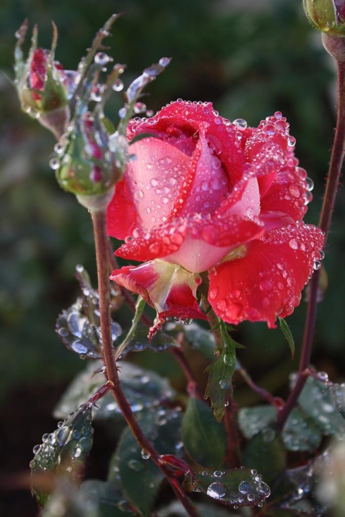 roses-3606658_1280