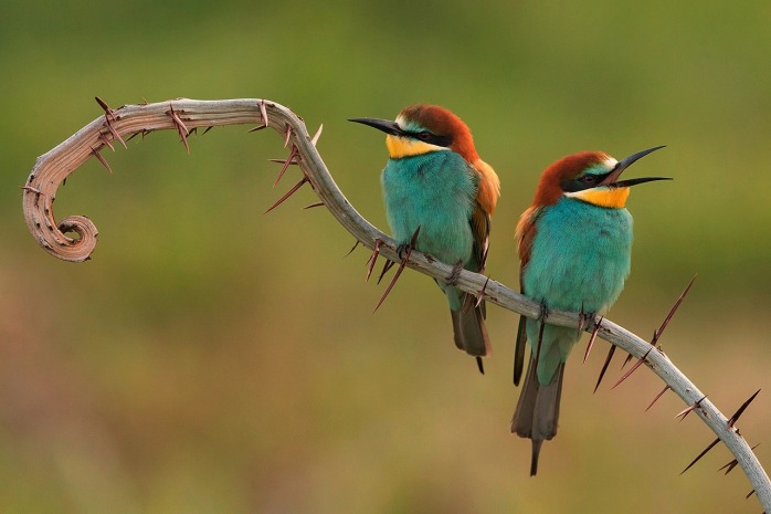 bee-eaters-3749679_1280