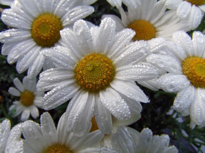 nature-plant-white-flower-petal-summer-1100092-pxhere.com