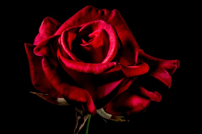 red-rose-334133_1280