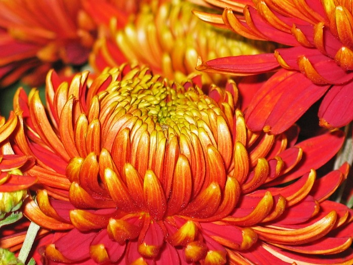 chrysanthemums-1816829_1280